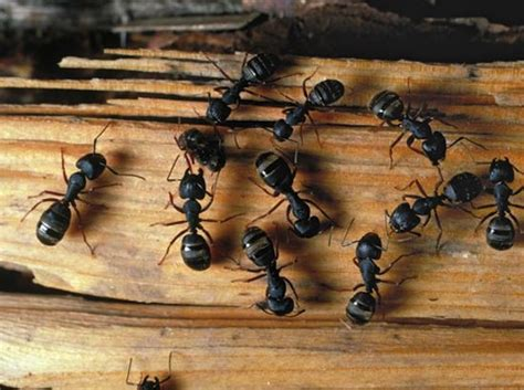 formiche in casa cosa fare formiche in casa ecco i rimedi idee green