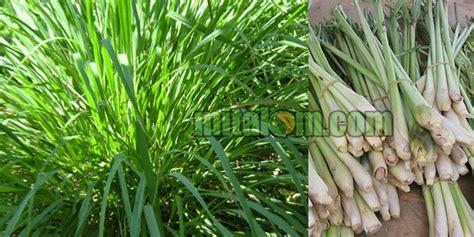Minyak Atsiri Serai Wangi cara mudah membuat pestisida nabati serai wangi untuk hama