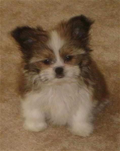 papillon shih tzu papastzu breed information and pictures