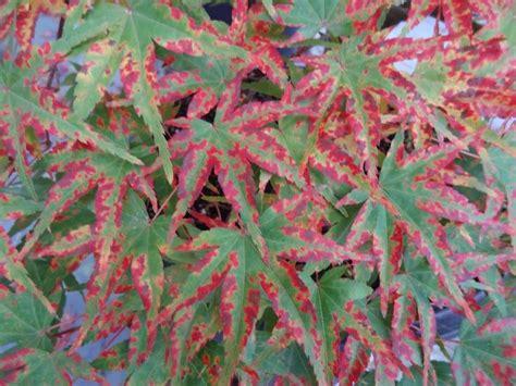 acer palmatum phoenix acer palmatum phoenix japanese maples pinterest