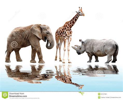 imágenes de jirafas y elefantes jirafa elefante y rinoceronte imagen de archivo imagen