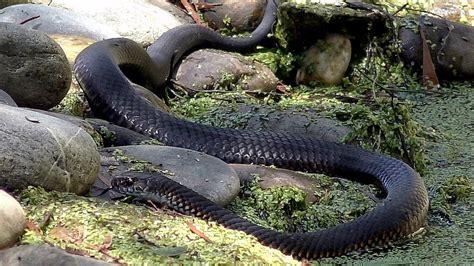 snake in my backyard lowland copperhead snake hunting frogs in my backyard
