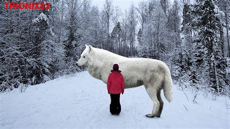 lobo gigante lobos lobo lobos gigantes lobo artico lobo blanco