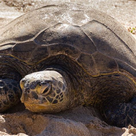 Day 5 Turtles by 5 Days On O Ahu Island Hawaii Things To Do On Oahu
