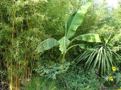 Quand Planter Un Bananier by Planter Un Bananier M 233 Thode Et Entretien Au Jardin
