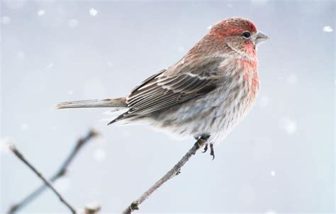 house finch birdhouse how to tell apart purple finches and house finches red birds audubon