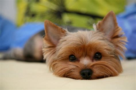 pictures of yorkies with puppy cuts yorkie names images