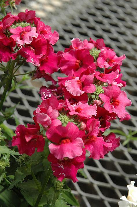 angelart raspberry nemesia nemesia angelart raspberry