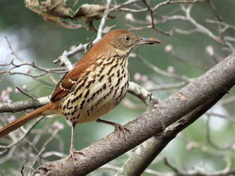 brown thrasher backyard bird nerd