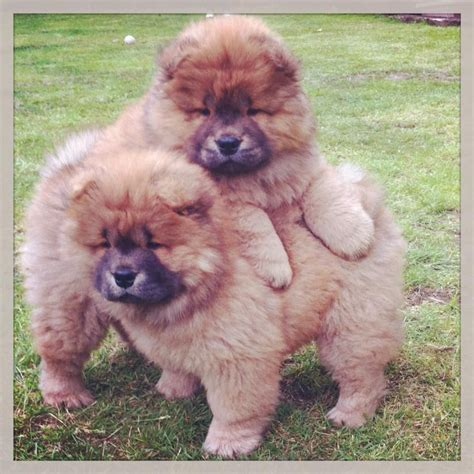 chow chow puppies for sale in ohio chow chow puppies and dogs for sale and adoption