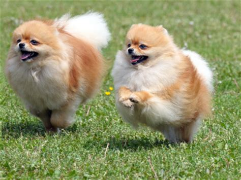 pomeranian disposition 7 things about the pomeranian temperament you must animals