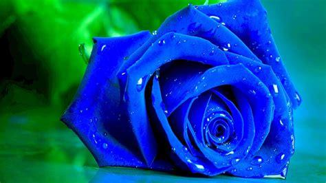 wallpaper flower rose blue wet blue rose wallpaper wallpaper wide hd