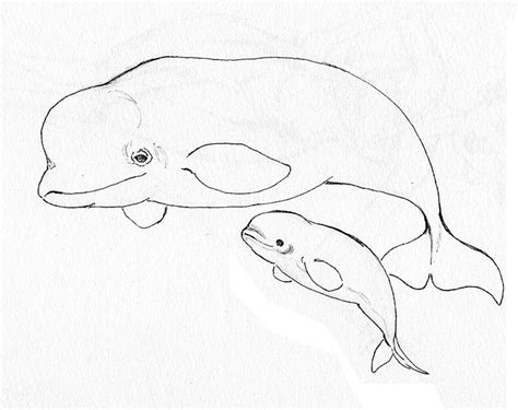 coloring page baby beluga animal coloring pages beluga whale endangered page
