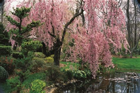 outdoor tree cherry blossom flowering cherry trees grow an ornamental cherry blossom tree garden design