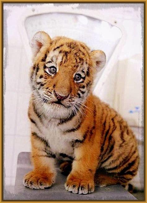 imagenes y videos bonitos fotos de los tigres mas bonitos del mundo archivos fotos