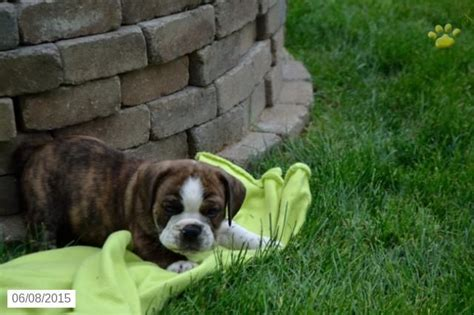 beabull puppies for sale in ohio 17 best images about beabull puppies on valentines warm and lebron