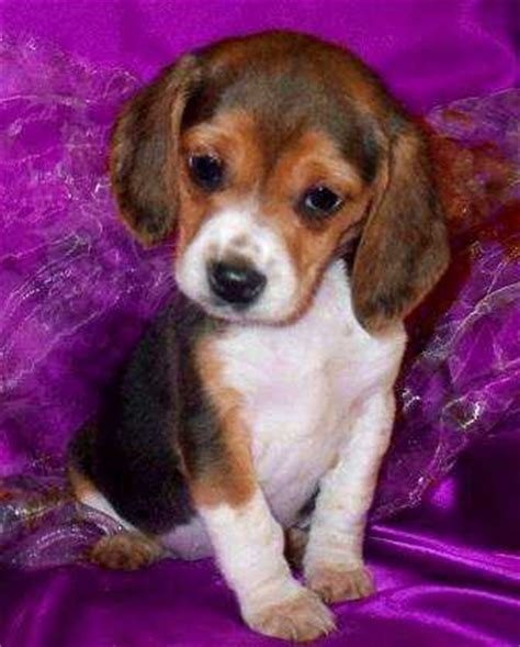 beagle puppies for sale in virginia beagles for sale ads free classifieds