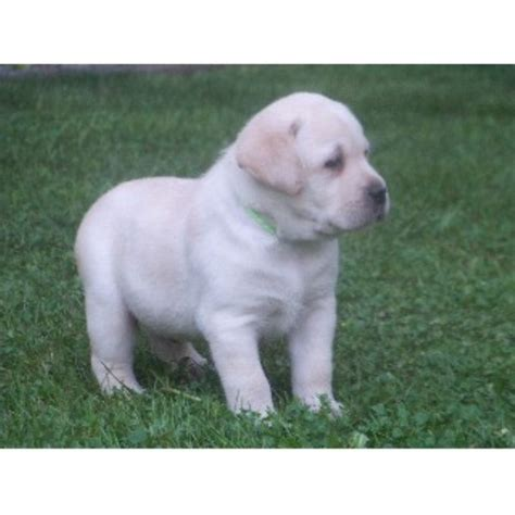 free puppies in nh labrador retriever lab breeders in new hshire freedoglistings