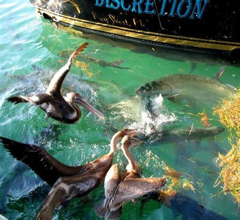 pelican boat key west pelicans and large tarpon feeding behind charter boat