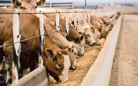 Cattle Feed Livestock Equipment Agri Tech Stores