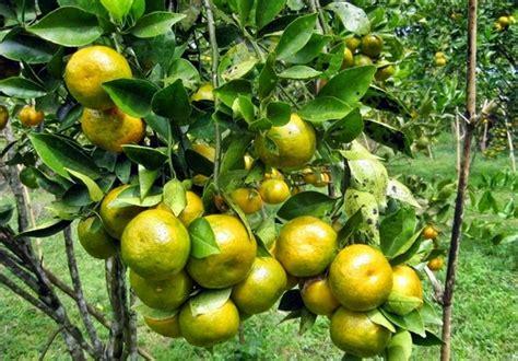 Pupuk Perangsang Bunga Jambu Air cara budidaya jeruk keprok bibitbunga