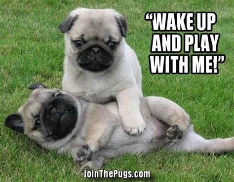 pugs being pug nap interrupted join the pugs
