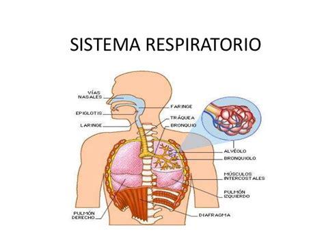 anatomia del sistema respiratorio sistema respiratorio