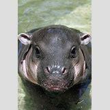 Hippopotamus Face In Water   428 x 640 jpeg 64kB