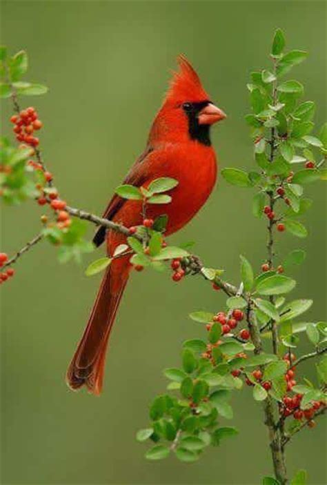 top 28 what noise does a cardinal make son of a