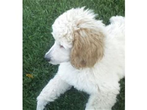 standard poodle puppies for sale in pa standard poodle puppies for sale in pa