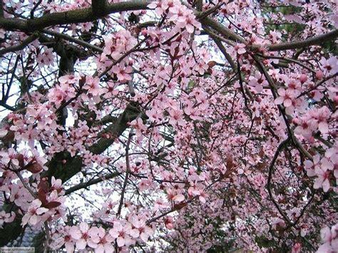 sfondi fiori di pesco foto primavera per sfondi desktop settemuse it