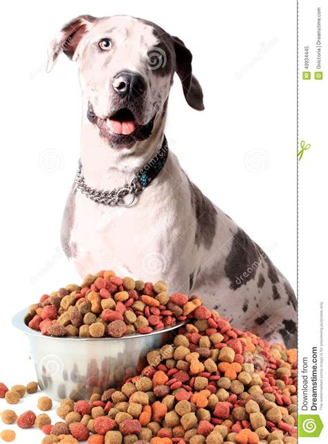 dog eating food from chrome bowl stock photo getty images great dane and dog food stock photo image 49934445