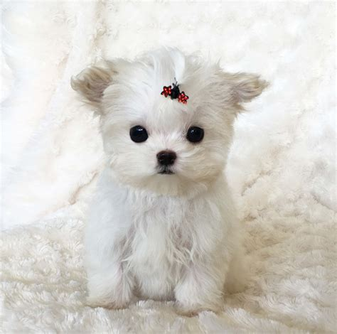 micro teacup puppies teacup maltipoo puppies www pixshark images galleries with a bite