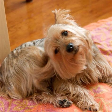 yorkies symptoms yorkies ear yeast infection pictures to pin on pinsdaddy