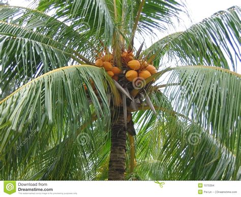 fruit bearing palm trees closeup coconut palm tree stock images image 1075394