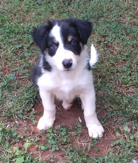 border collie puppies for sale in nc bodak border collies border collie breeder salisbury carolina