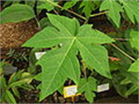 tanaman obat keluarga wikipedia bahasa indonesia