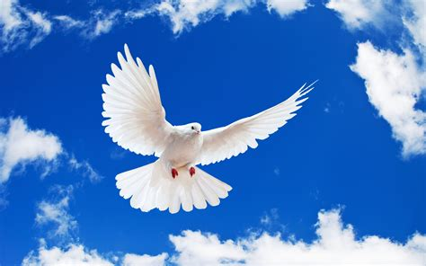 white dove wallpapers hd wallpapers