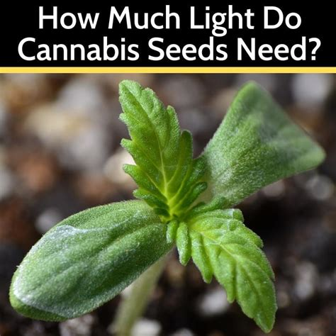 light  cannabis seeds  grow light central