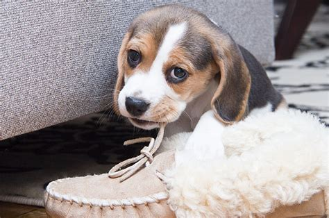 puppy chews everything 7 things i wish i knew before i got the puppy plus