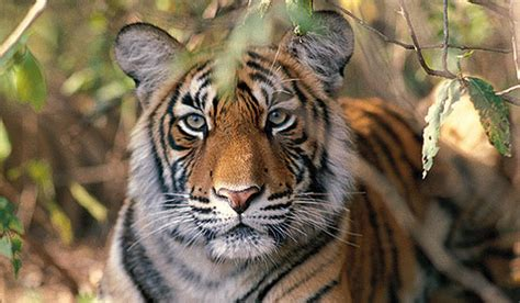 Essay On Tigers In India by видео пушные звери фото
