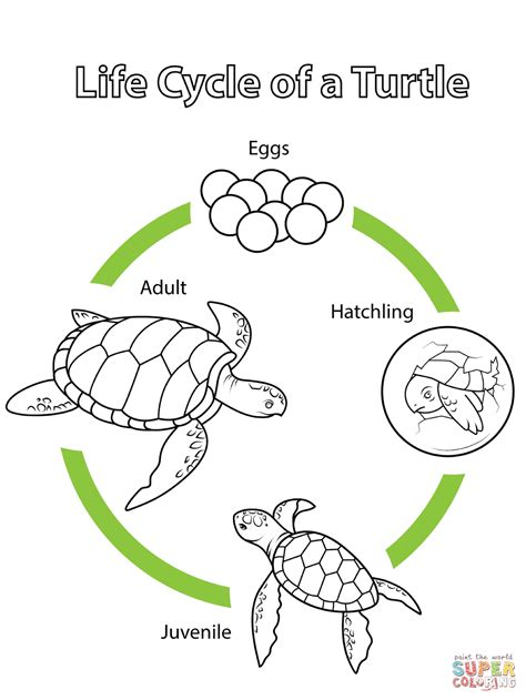 cycle of a turtle diagram cycle of a turtle coloring page free printable