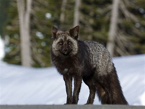 is a fox a what exactly is a silver fox mnn nature network