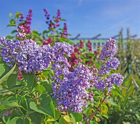 fiori tappezzanti fiori tappezzanti per aiuole interesting fiori fucsia per