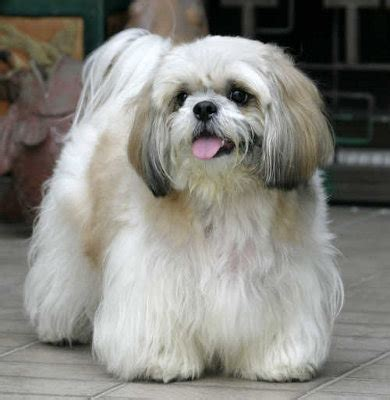 photos of shih tzu dogs shih tzu knowledge base lookseek