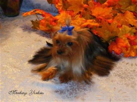 yorkie minnesota teacup terrier mn photo