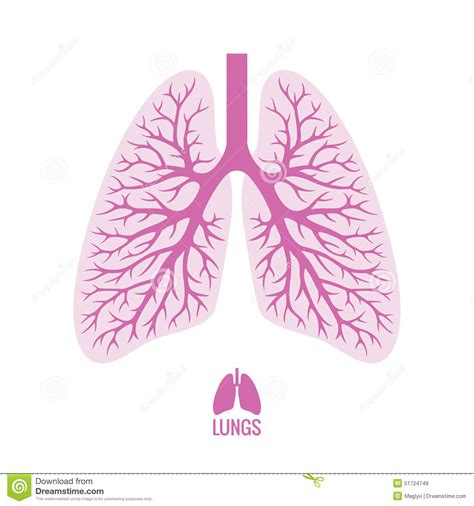human lungs with bronchial tree stock vector image 51724749