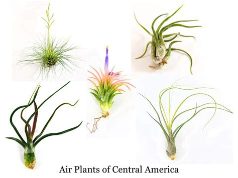 17 best images about airplants on pinterest succulent