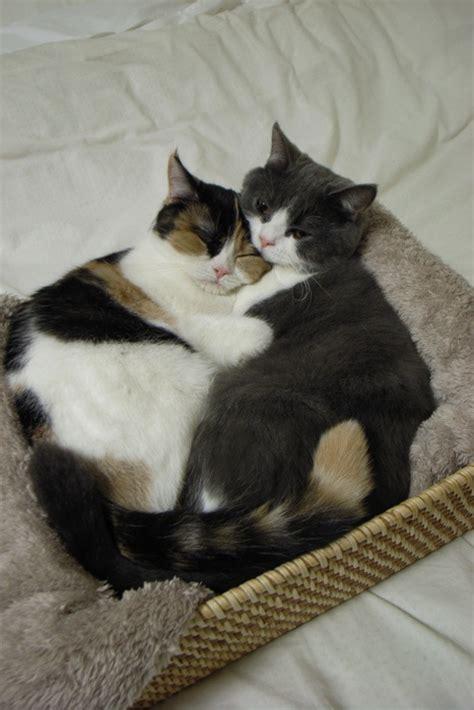cat hugs cat hug gatinhos