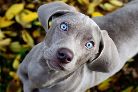 Blue Lacy Temperament Names Rescue Adoption